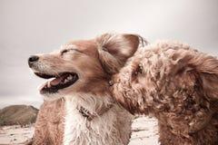 Haupt- und Schulterporträtaufnahme zwei des netten Hundeküssens Stockbild