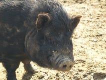 Hauptansicht eines Topf-aufgeblähten Schweins Lizenzfreies Stockfoto