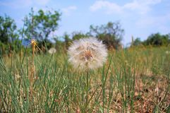 Hauptdubius der tragopogon der Westziege lizenzfreie stockfotografie