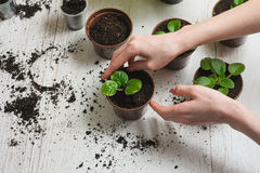Hauptgartenarbeitpflanzende Zimmerpflanze Stockfotos