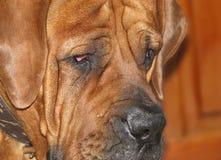 Haupthunderasse Boerboel stockfotografie