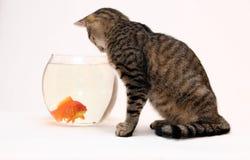 Hauptkatze und ein Goldfisch. Stockfoto