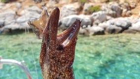 Hauptmuränen auf einem Fischereihaken Stockbild