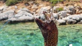 Hauptmuränen, die am Haken eines Fischers hängen Stockbild