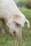 Hauptnahaufnahme auf dem Schweinessen Lizenzfreie Stockfotografie