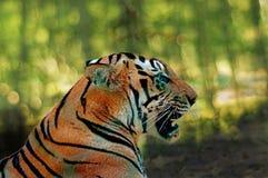 Hauptnahaufnahme zeigt tödliche Kiefer königlichen Bengal-Tigers lizenzfreies stockfoto
