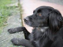 Hauptsächlich schwarzer Hundeaufpassende Eidechsen Setzerkreuz Stockbild