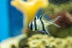Hauptsächliche Fische Lizenzfreies Stockbild