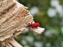 Hauptsächlicher Käfer Stockfoto