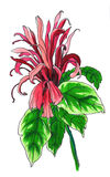 Hauptsächlicher Schutz der tropischen roten Blume Lizenzfreie Stockfotografie