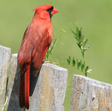 Hauptsächliches Redbird Lizenzfreies Stockbild
