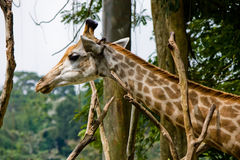Hauptschuß der Giraffe Stockfoto