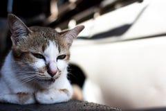 Hauptschuß der Katze Porträt der Katze auf Unschärfehintergrund Lizenzfreies Stockfoto