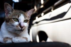 Hauptschuß der Katze Porträt der Katze auf Unschärfehintergrund Lizenzfreie Stockfotos