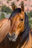 Hauptschuß des braunen wilden Pferds mit dem schwarzen Haar Stockfoto