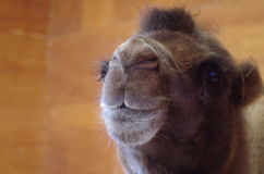 Hauptschuß des Kamels Lizenzfreie Stockfotos
