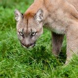 Hauptschuß des Pumas mit schönen Augen stockfoto