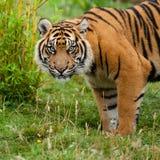 Hauptschuß des Sumatran Tigers im Gras lizenzfreies stockfoto