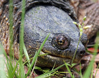Hauptschuß einer reißenden Schildkröte stockfoto