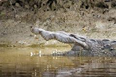 Hauptschuß eines amerikanischen Krokodils Lizenzfreies Stockfoto