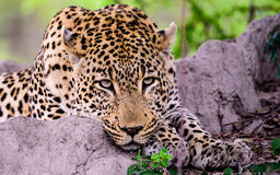 Hauptschuß eines entspannten Leoparden vollständig entspannt stockbild