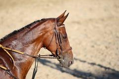 Hauptschuß eines schönen jungen Rennpferds während des Trainings Lizenzfreie Stockfotos