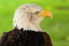 Hauptschuß eines Weißkopfseeadlers Lizenzfreies Stockfoto