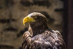 Hauptschuß von Weiß angebundenem Eagle stockbild