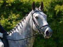 Hauptschuß des Pferds Dressurreiten tuend Stockbild