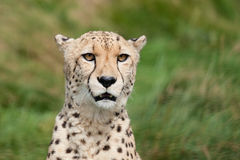Hauptschuss-Portrait des schönen Geparden Lizenzfreie Stockfotos