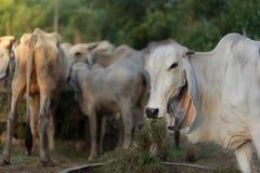 Hauptteilporträt der thailändischen Kuh auf Unschärfeviehhintergrund lizenzfreies stockfoto