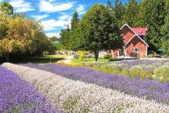 Haus auf dem Lavendel-Gebiet Stockbilder