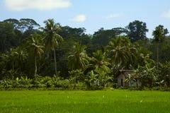 Haus auf einem Reisfeld Stockbild