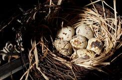 Haus-Fink-Eier im Nest Lizenzfreie Stockfotografie