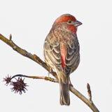 Haus-Fink-männlicher kleiner Vogel stockfoto