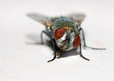 Haus-Fliege Stockfoto