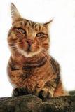 Haus-Katze Stockfoto