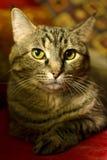 Haus-Katze auf roter Couch Stockbild