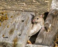 Haus-Maus stockfotografie