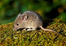 Haus-Maus (Mus Musculus) Stockfotografie