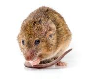 Haus-Maus (Mus Musculus) Lizenzfreies Stockfoto