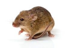 Haus-Maus (Mus Musculus) Stockbilder