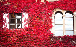 Haus mit rotem Efeu Stockbild