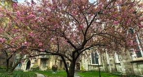 Haus in New York Rosafarbener Baum Stockfoto