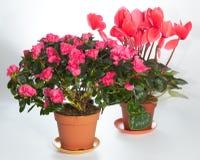 Haus pflanzt Gruppe (Azalee, Cyclamen) lizenzfreies stockbild