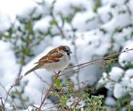 Haus-Spatz im Schnee Lizenzfreies Stockfoto