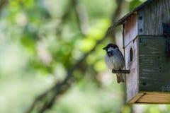 Haus-Spatz (Passant domesticus) Lizenzfreies Stockfoto