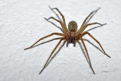 Haus-Spinne Stockbild