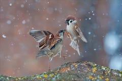 Haus und Feldsperlinge kämpfen in den starken Schneefällen stockfoto