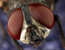 Hausfliegenaugen Lizenzfreies Stockbild